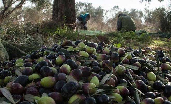 Σπείρες «ρημάζουν» ελαιόδεντρα – Έξαλλοι οι αγρότες